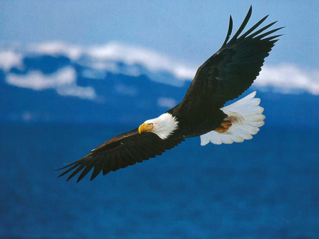 American_Bald_Eagle_in_Flight-wallpaper